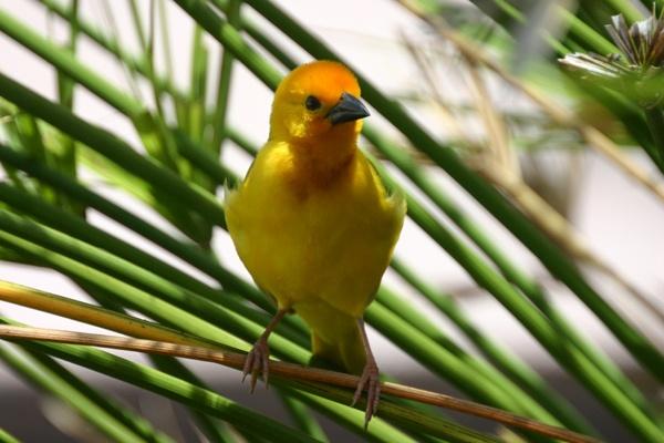 Weaver Bird in the Reeds by SteveMoulding