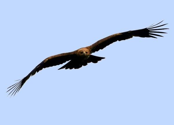 Golden Eagle? by SteveMoulding