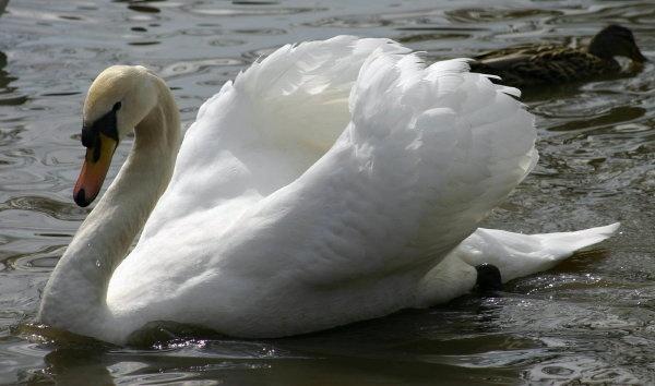 Swan by spug1850