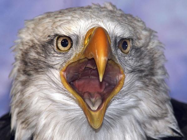 Bald Eagle by alzeepark