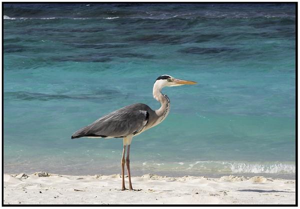 Maldive Heron by foot_loose