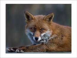 ... fox ...
