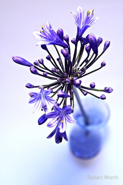Agapanthus Blues by RobW
