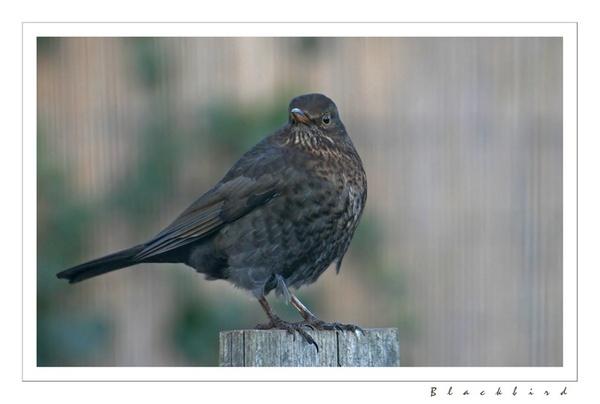 blackbird by mort