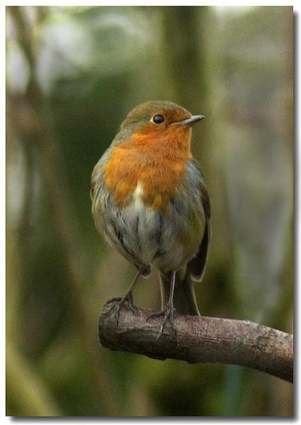 robin redbreast by patman
