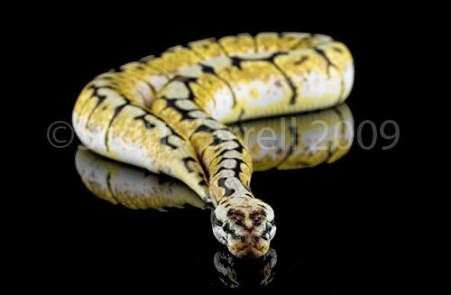 Royal Python by scotty99