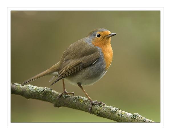 Robin...again.... by SueWB