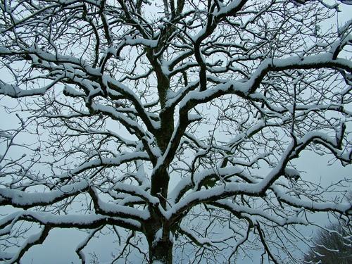 Snowy tree by cheddarman
