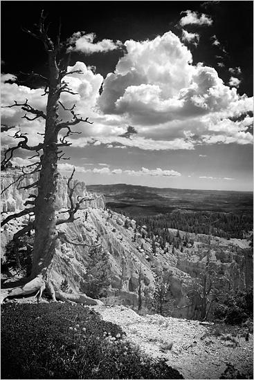 Bristlecone Pine by kalseru