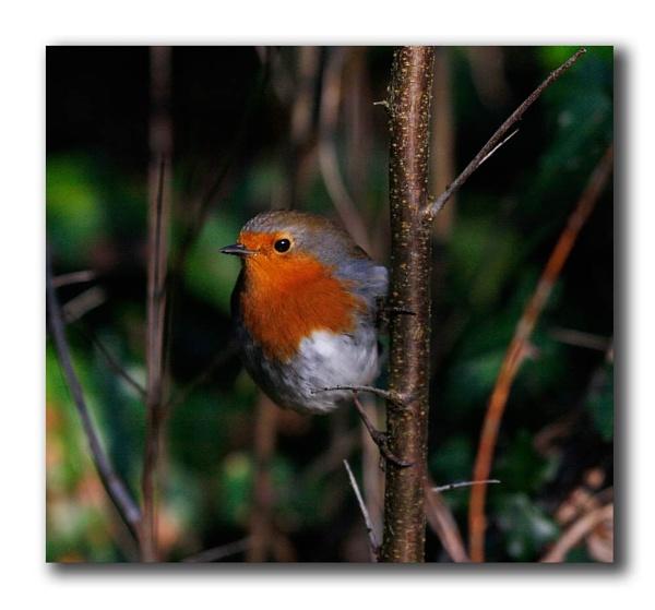 Bosheston Robin by Fearniespurs