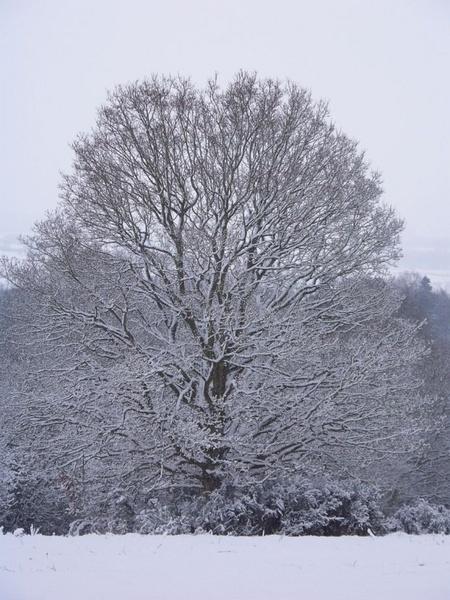 Kinver Edge Snow Tree by batty_1