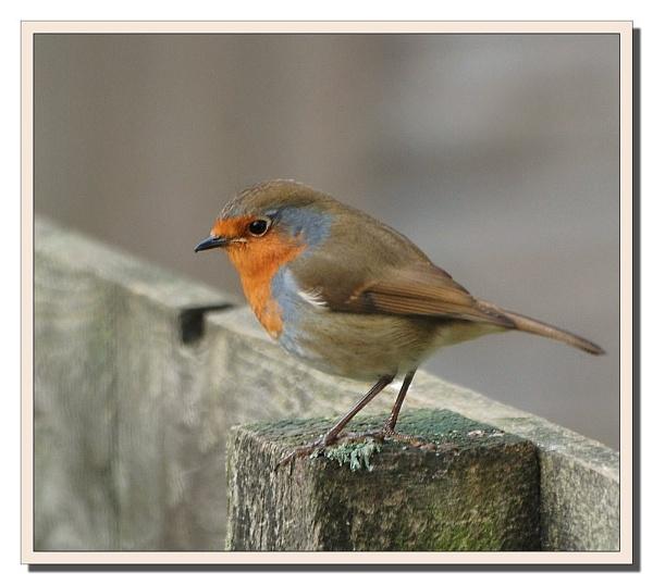 Robin red breast by gerrymac