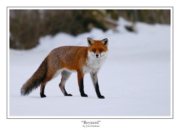 Reynard by SurreyHillsMan