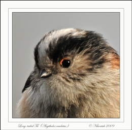 Long Tailed Tit 6