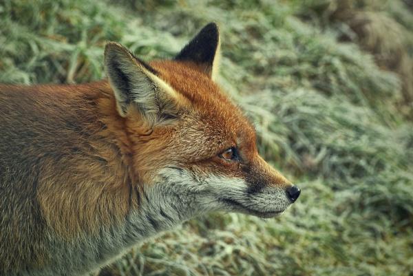 Fox. by fishing