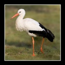Stork by SteveHunter