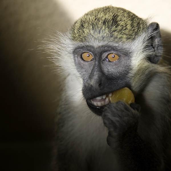 Vervet Monkey Gambia by Coast