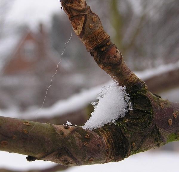Chestnut tree by Mintakax