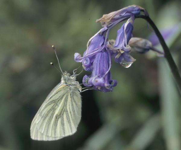 Green veigned white on bluebell by LenShepherd