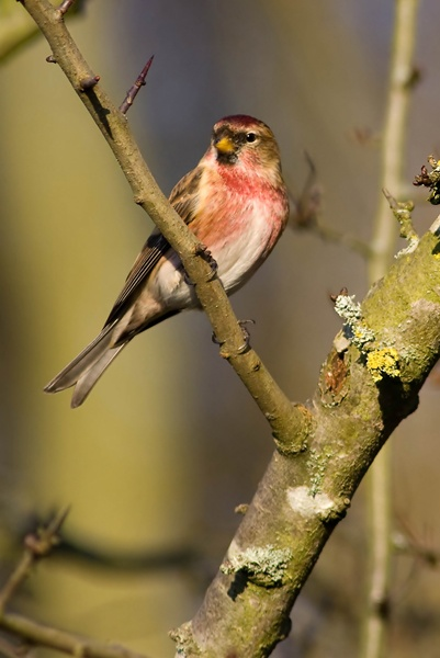 Male lesser redpoll by Icee