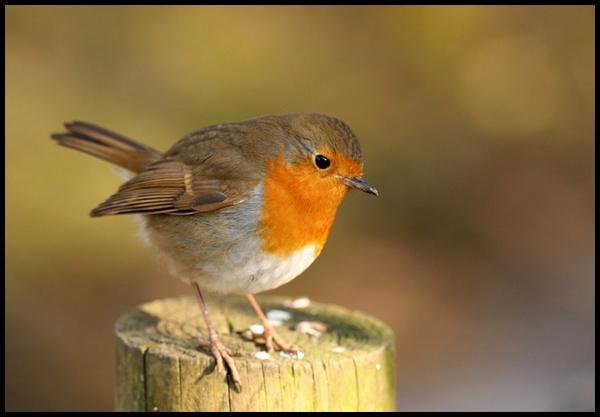 Robin enjoying the winter sun by blacklug