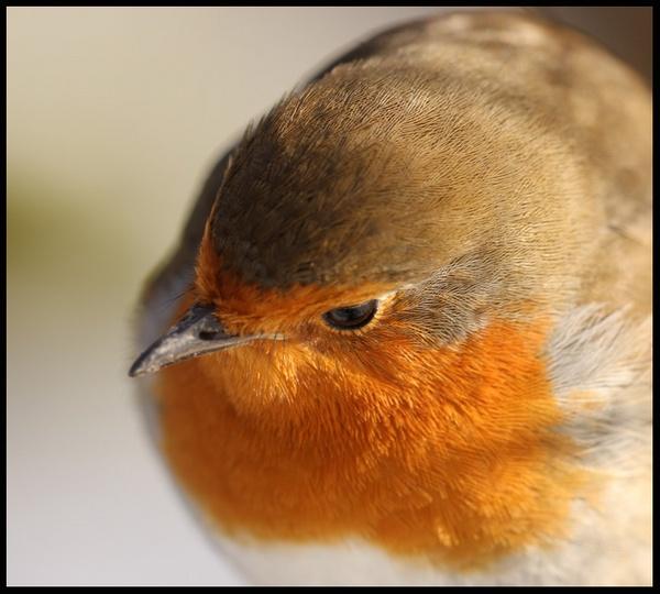 Close up Robin by blacklug