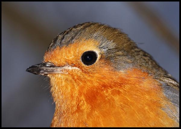 Robin close up 2 by blacklug