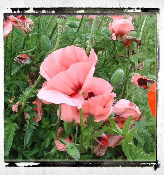Pink Poppies by sanjan
