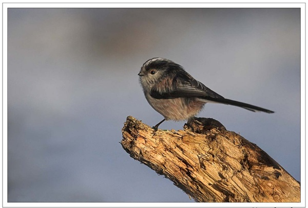 Long Tailed Tit by Karrol