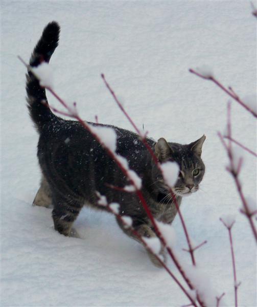 Snow Cat 2 by ValRMN