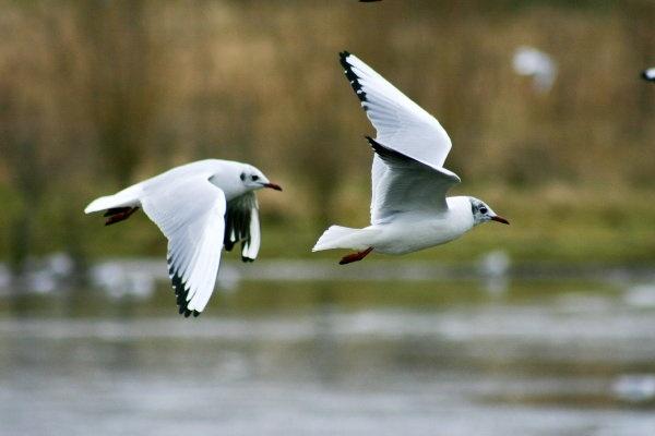 Gulls in flight by spug1850