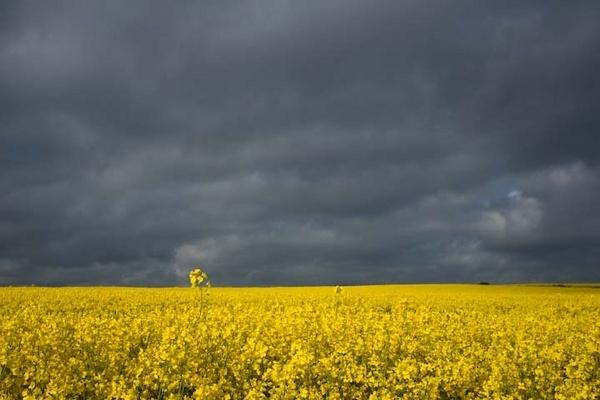 Oil seed rape fields, Whitby by FranHalsall