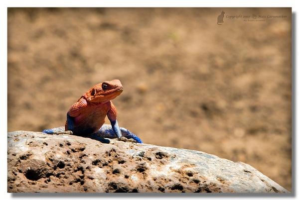 Red-headed Rock agama (Agama agama) by Ratatosk