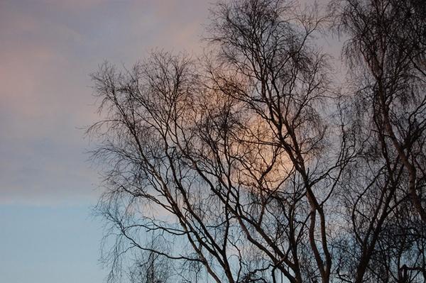 Silver Birch by Dazcourt