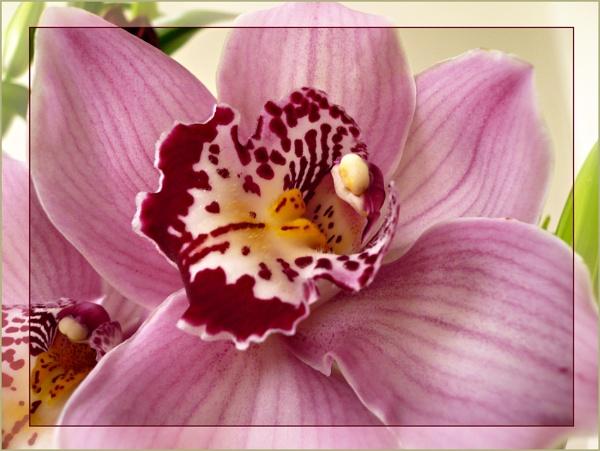 Orichid Pink by sandrish