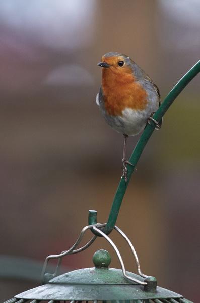 Robin on the Feeder Arm by dannyg
