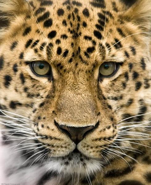 Leopard (sans pink!) by nikguyatt