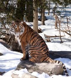 Sumatran Snow