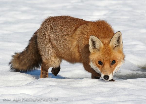Last Winter Fox by albi