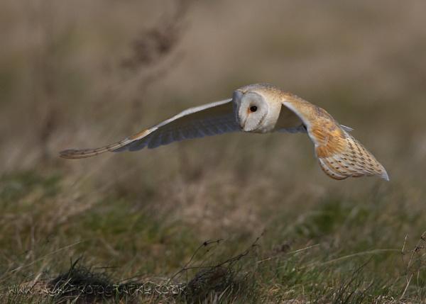 Barn Owl by albi