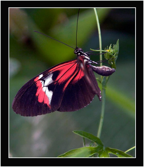 *Butterfly* by Dorothea