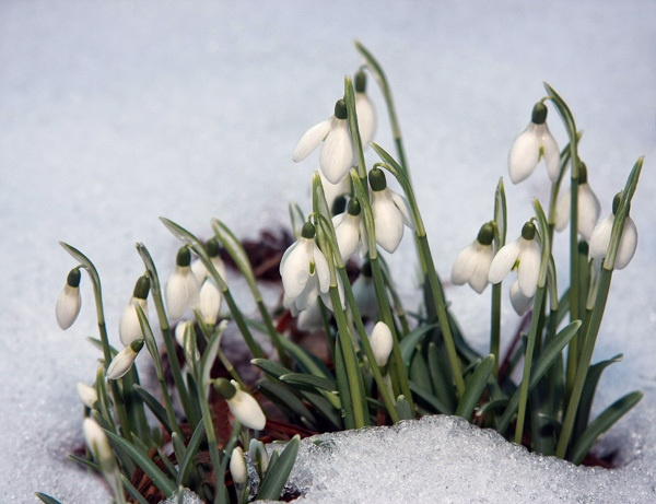 Snowdrops in the Snow by ChristineD