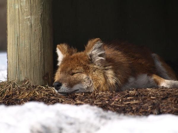 Let sleeping dholes lie... by royhicks