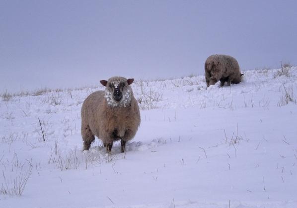 snow sheep by simbo76