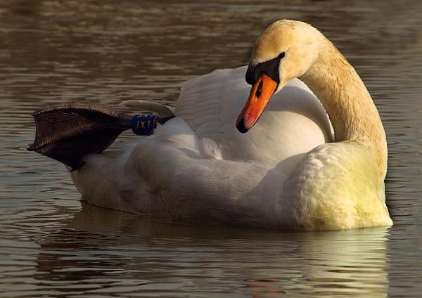 Coloured Swan by chensuriashi