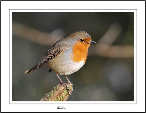 Robin by Maiwand