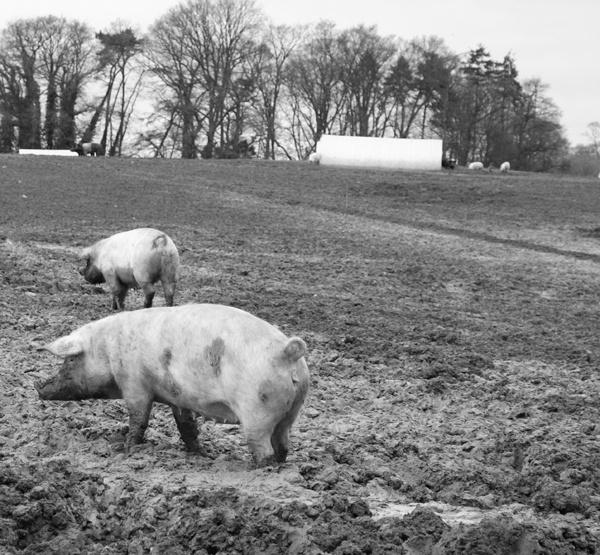 Piggin\' Around in the Mud by SexyDan