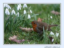 Robin in Snowdrops