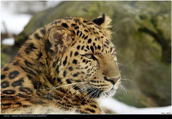Amur Leopard by rangerpaul