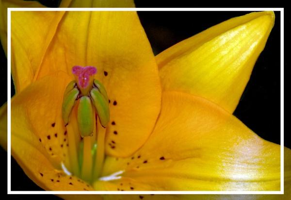 Macro Lily by Stuart463